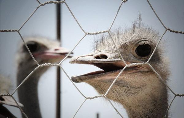 شترمرغ مولد گردن آبی