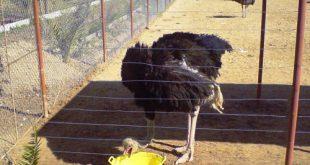 جیره شترمرغ مولد