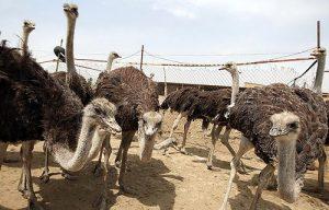 شترمرغ پرواری کشتاری مشهد